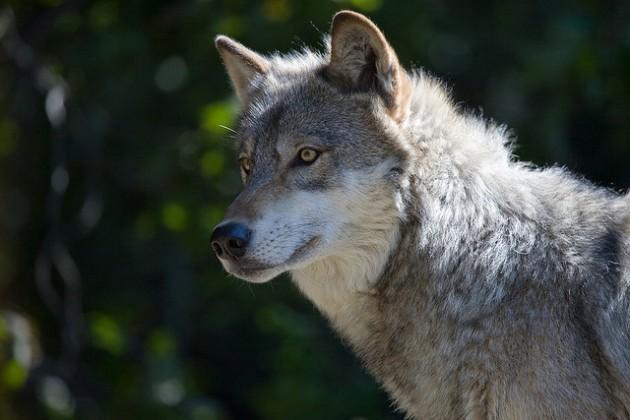 A wolf gazing